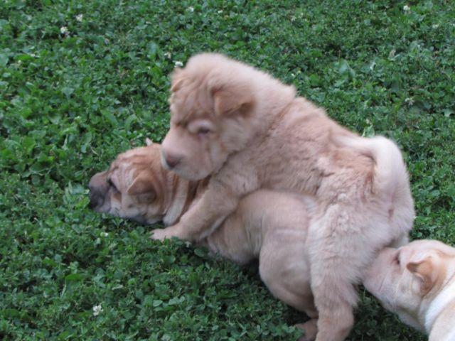 Mini Bearcoat Shar Pei Puppy For Sale In Elgin Illinois