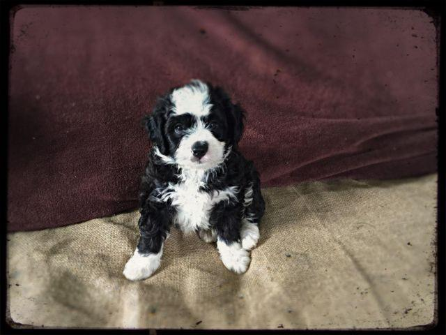 Mini Bernedoodle For Sale In Lake Grove New York Classified