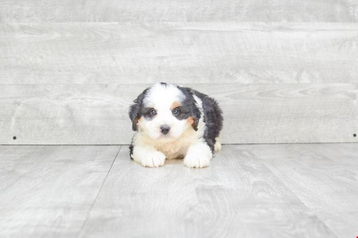 Mini Bernedoodle Puppies For Sale!! Dillon!! (m), Www premierpups com