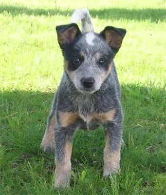 Mini Blue Heeler Pups For In