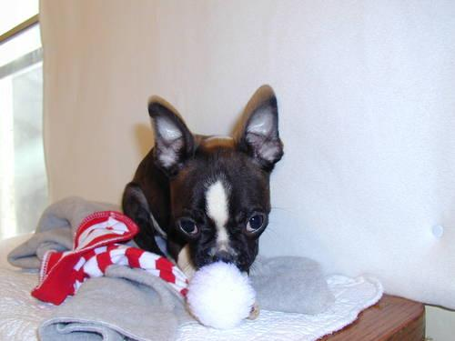 MINI BOSTON TERRIER (CKC) 12 WKS. ( BRINDLE - BLACK /