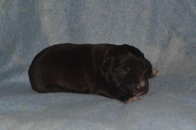 Mini Chocolate Goldendoodle Bobby For Sale In Indianapolis