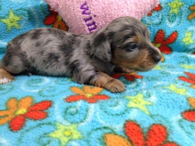 dapple dachshund puppy Classifieds - Buy & Sell dapple dachshund ...
