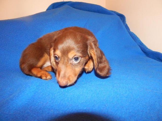 Mini Dachshund, Handsome Chocolate and Tan Longhair Boy