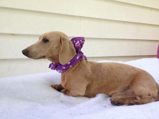 Mini Dachshund Male Isabella Color For Sale In London