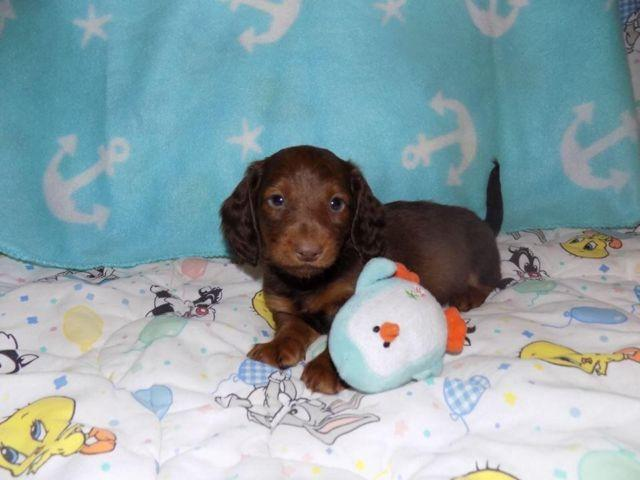 cream dachshund Pets and Animals for sale in the USA - Puppy and ...