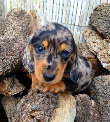 Mini Dachshund Puppies For Sale In Houston Texas Classified
