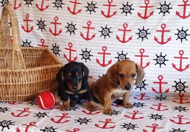 Dachshund Puppies For Sale In Virginia Classifieds Buy And Sell In