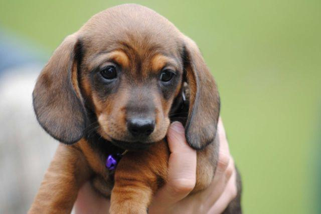 Dachshund Puppies For Sale In Tennessee Classifieds Buy And Sell