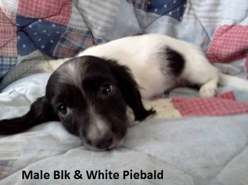 Mini Dachshund Pups, Variety of colors, Long Hair, 3 Males ...