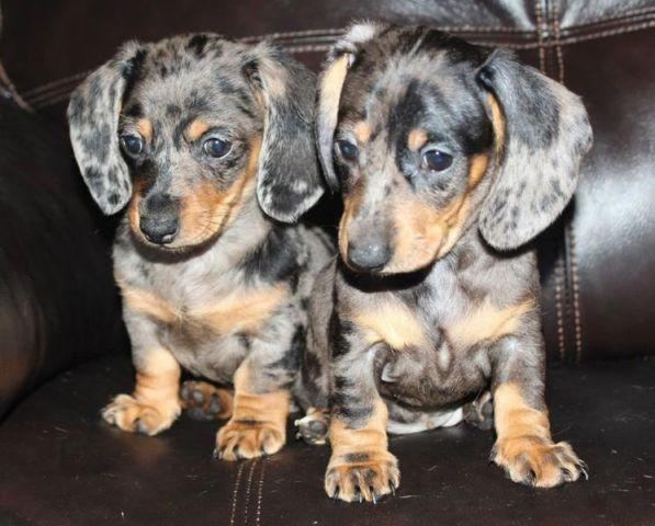 Mini Dachshund Purebred Dapple Female Puppies