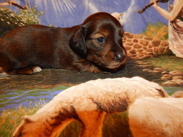Mini-Dachshund, very good looking Red Brindle Longhair