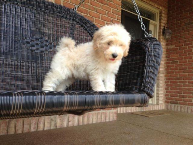 Indiana Labradoodle Puppies For Sale | Indiana Breeders