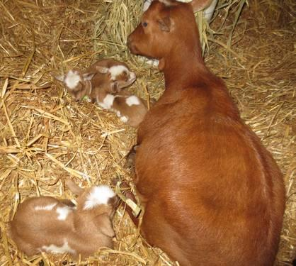 Mini Goat Pets SALE