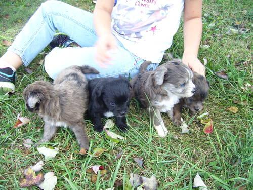 Mini golden doodles for sale in science hill kentucky classified