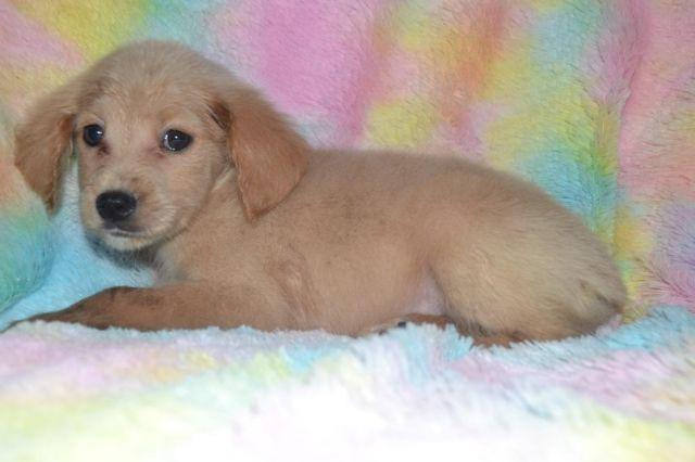 Mini Goldendoodle 20 30 Lbs For Sale In Bowling Green