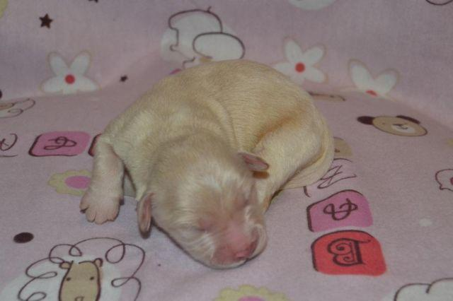 Mini Goldendoodle F2 Sunny For Sale In Indianapolis Indiana
