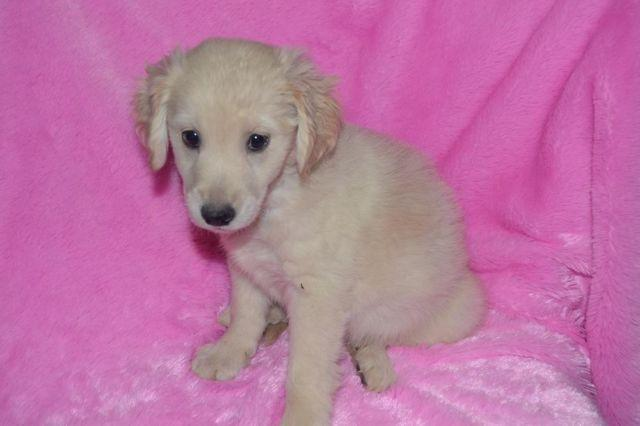 Mini Goldendoodle Molly For Sale In Indianapolis Indiana