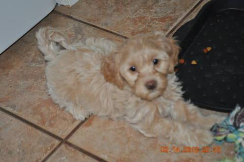 Mini Goldendoodle Puppies for Sale in Port Huron, Michigan Classified