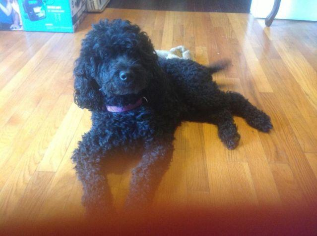 Mini Goldendoodle Puppies For Sale In Oakland New Jersey Classified