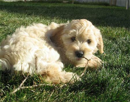 Mini Goldendoodle Puppies for Sale in Concord, Michigan Classified ...