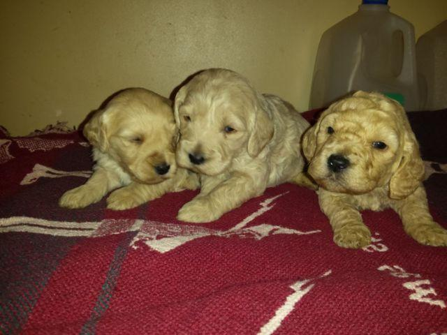 Mini-Goldendoodle puppies for Sale in Concord, Michigan Classified ...