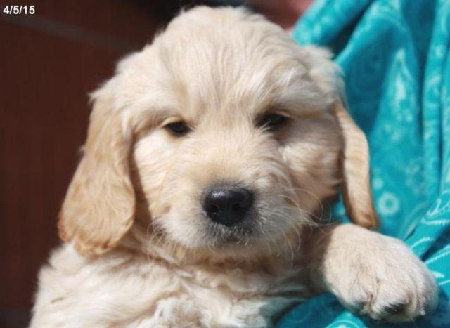 Mini Goldendoodle Puppies F1 Males For Sale In Fowler