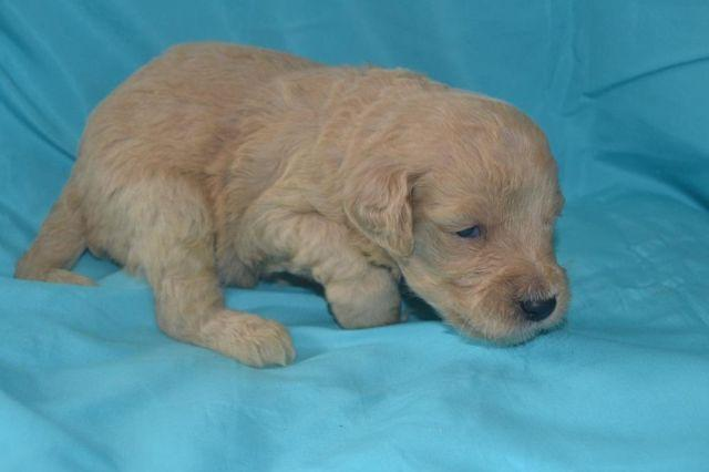 Mini Goldendoodle Puppies Nike For Sale In Indianapolis
