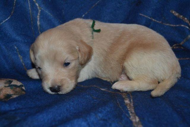 Mini Goldendoodle Puppies Poncho For Sale In Indianapolis