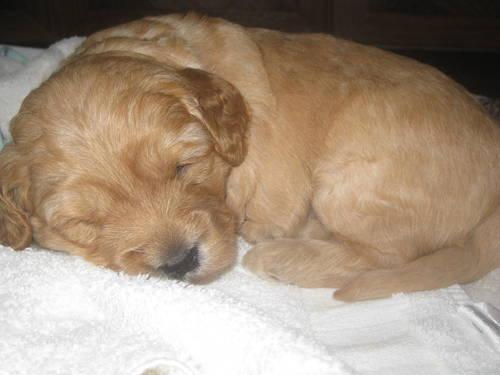 Mini Goldendoodles F1b For Sale In Demarest New Jersey