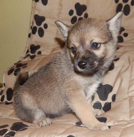 Pomeranian Husky Mix For Sale In Alabama Dog Breeds Picture | Dog ...