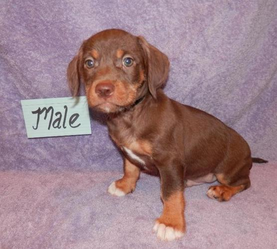 Mini Lab Bea Tzu Beagle Shih Tzu Pups 8 Weeks Old To 150 For