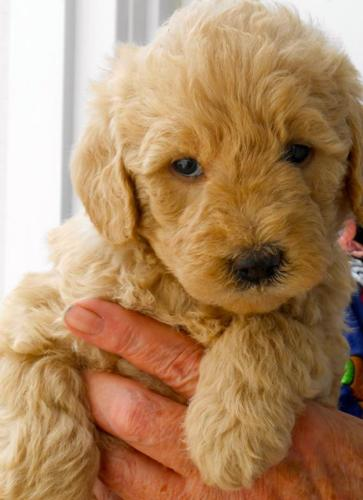 Mini Labradoodle Puppies For Sale In Cutten California