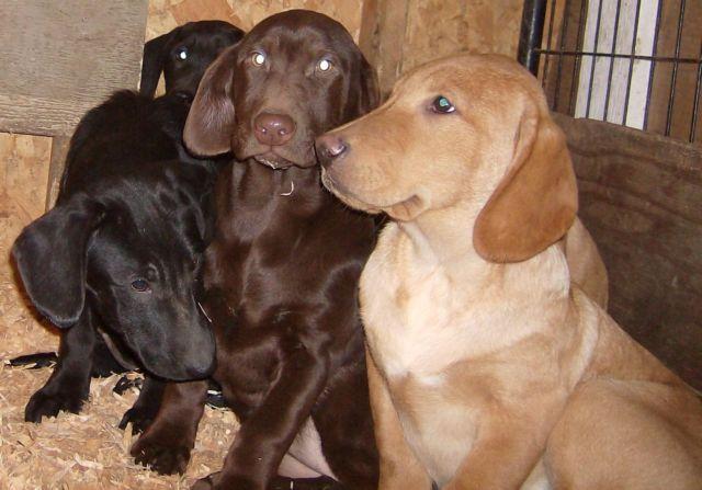 Mini Labrador Retriever Puppies Available Now 3 Girls