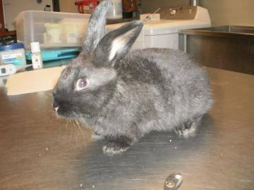 Mini - Lop - Roxie - Small - Young - Female - Rabbit for