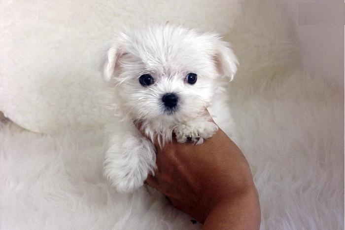 Mini Maltese Puppies For Sale Text Via For Sale In
