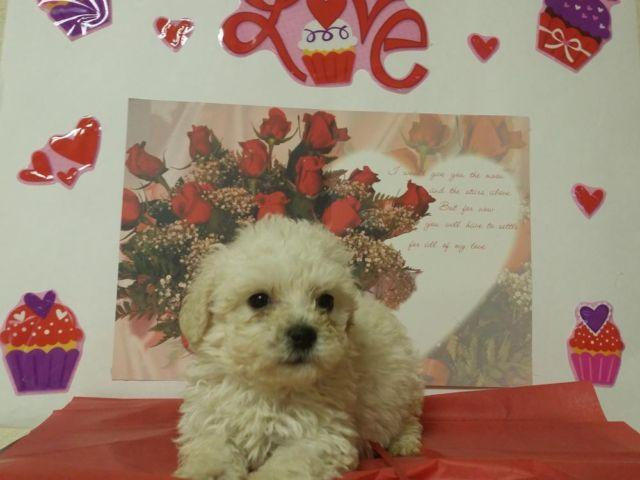 *** MINI MALTIPOO PUPPIES ***