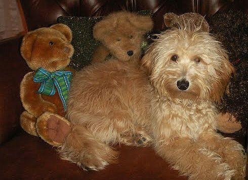 Miniature Goldendoodle Puppy