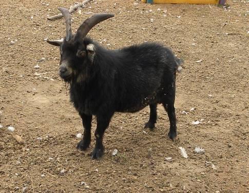 Nigerian Dairy Goats