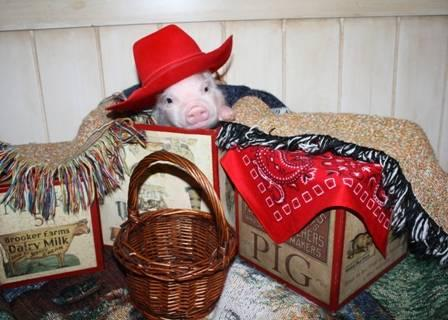 Mini Pigs - Miniature Pig - Piggy - Micro Mini Pig -