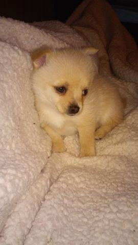 Mini Polar Bear Toy Pomeraniantoy Chihuahua Mix For Sale In Gold