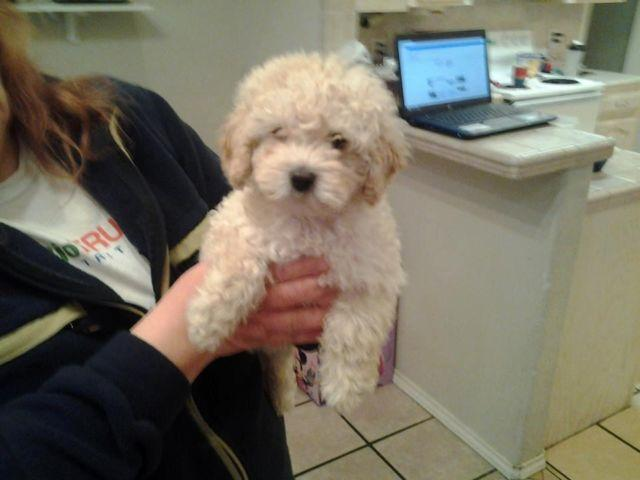 Mini Poodle Male 3 Months Old For Sale In Mcallen Texas