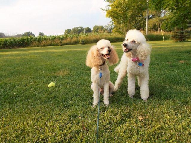 Mini Poodle Puppies-Michigan