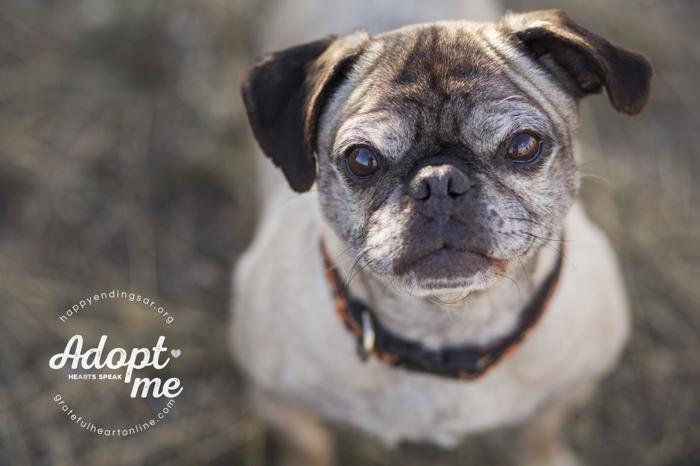 Mini Pug Adult - Adoption, Rescue