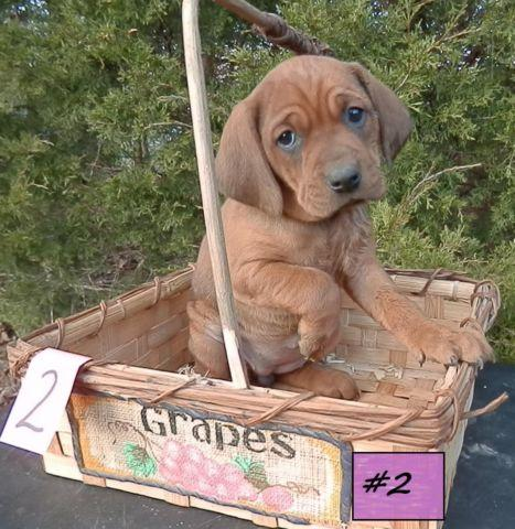 Redbone Coonhound For Sale In Missouri Classifieds Buy And Sell In
