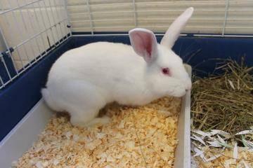 Mini Rex Bunnies Medium Young Male Rabbit For