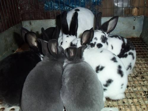 mini rex rabbits for sale for sale in east fishkill new york classified. Black Bedroom Furniture Sets. Home Design Ideas