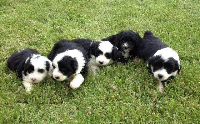 Pets And Animals For Sale In Deerfield Minnesota Puppy And Kitten