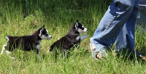 Mini Siberian Husky Puppies For Sale In Orlando Florida Classified