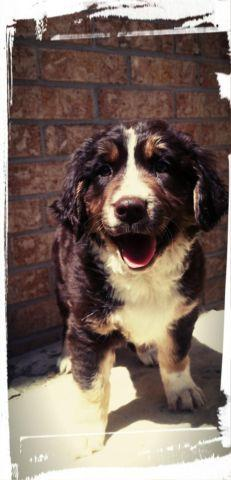 Mini Toy Bernedoodle Puppies Available Tri Color For Sale